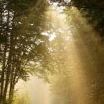 solstrålar faller in i dimmiga skogen — Stockfoto