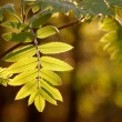 Spring leaves at dawn — Stock Photo