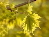 Maple leaves in the forest — Stock Photo