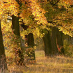 Autumn maple trees — Stock Photo
