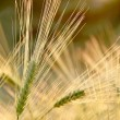 Wheat ears in the field — Stock Photo