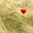 Poppy at sunset - Foto de Stock