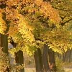 Autumn maple trees at dusk — Stock Photo