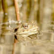 Frog in the forest pond — Stock Photo