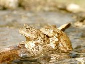 Frogs in water — Stock Photo