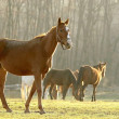 Horse in the field at dawn — Stock Photo