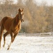 Horse running on snow — Stock Photo