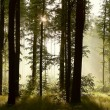 Sunlight falls into a misty forest — Stock Photo