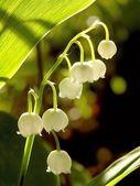 Lily vadi — Stok fotoğraf