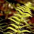 Spring fern — Stock Photo #2605058
