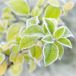 Frozen plant — Photo
