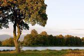 Drzewo klon świcie — Zdjęcie stockowe