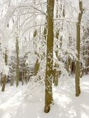 Winter forest with beech trees — Stock Photo
