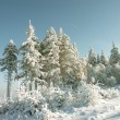 Stock Photo: Frost covered pine trees
