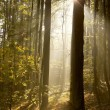 Sunlight falls into misty forest - Foto de Stock