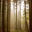 Coniferous forest at sunrise - Stok fotoraf