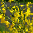 Stock Photo: Yellow broom flowers