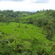 Palms and terrace ricefields in Bali — Stock Photo