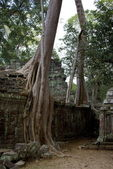 Spectacular tree roots at Angkor — Stock Photo