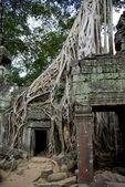 Enormous tree roots at Angkor — Stock Photo