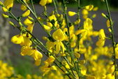 Yellow broom flowers — Stock Photo