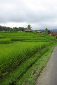 Ricefield and huts in Bali — Stock Photo