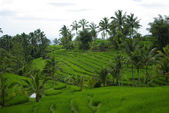 Rice fields and palm trees in Bali — Stock Photo