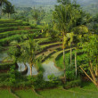 Young watered terrace ricefield — Stock Photo #2011228