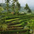 Young watered terrace ricefield — Stock Photo #2011247