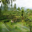 Young watered terrace ricefield — Stock Photo