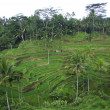 Palms and terrace ricefield in Bali — ストック写真
