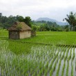 Little hut with watered ricefields — Stock Photo