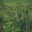 Palms and terrace ricefield in Bali — Stok fotoğraf