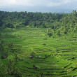 Many ricefields and palms in Bali — Stock Photo