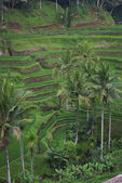 Palms and terrace ricefield in Bali — Stock Photo
