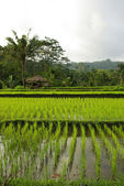 Old hut with watered ricefields in Bali — Stock Photo