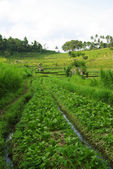 Green ricefield in Bali — Stock Photo