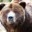 Brown grizzly bear — Foto Stock