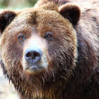 Stock Photo: Brown grizzly bear