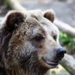 Grizzly Bear — Stock Photo #1880959