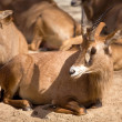 Antelopes — Stock Photo
