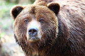 Orso grizzly marrone — Foto Stock