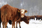 Cows and snow — Stock Photo