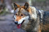 Canis Lupus — Stock Photo