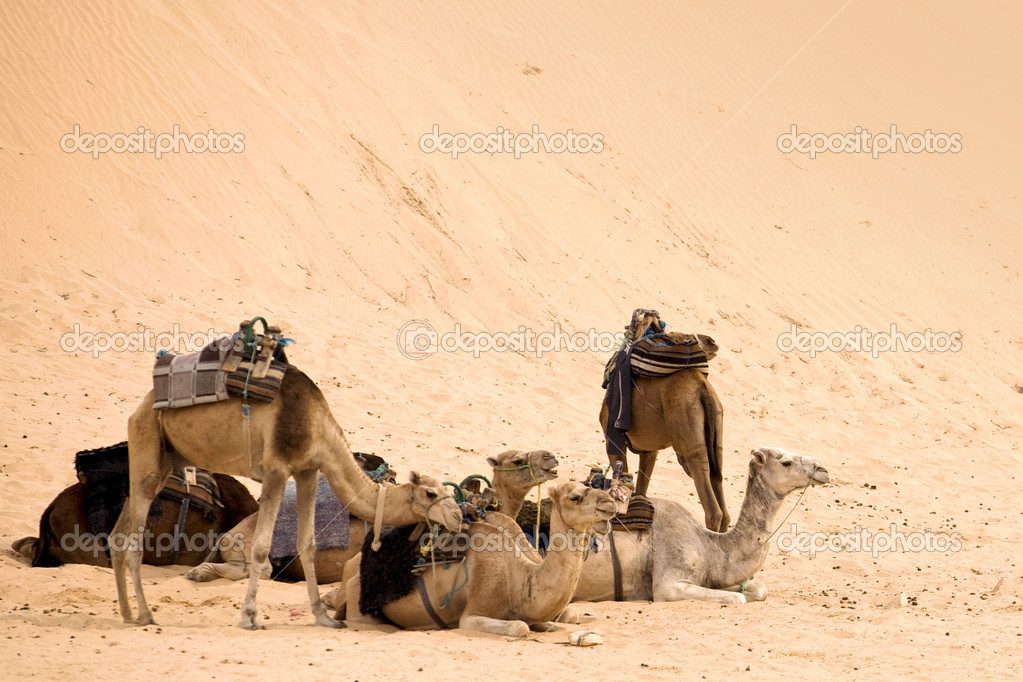 Camels are having rest in hot sahara desert — Stock Photo #1881743