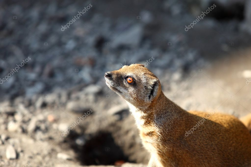 Yellow mongoose outdoors — Stock Photo #1882321