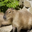 Capibara — Stock Photo #1892902