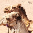 Two camels — Stock Photo #1893406