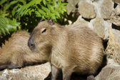 Capibara — Zdjęcie stockowe