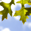 Oak Leaf with Sky — Stock Photo #1892683